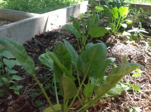 Planted only a row of spinach....and I'm sure they have reached top height....so they are goin in a salad soon.