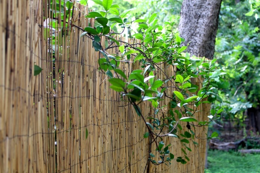 This is a bamboo reed privacy fence in the backyard. The vines have been loving it!