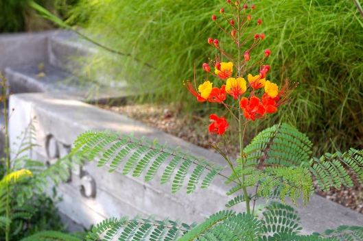 I love love love the color of the Pride of Barbados.