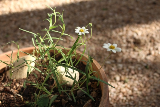 This blackfoot daisy - a baby shower takeaway - is now making a lovely addition to our backyard. It's thriving!!