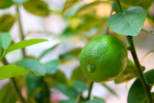 I was just watering the trees and I discovered this lil key lime on the tree. Can you say icy, cold, key lime margaritas??