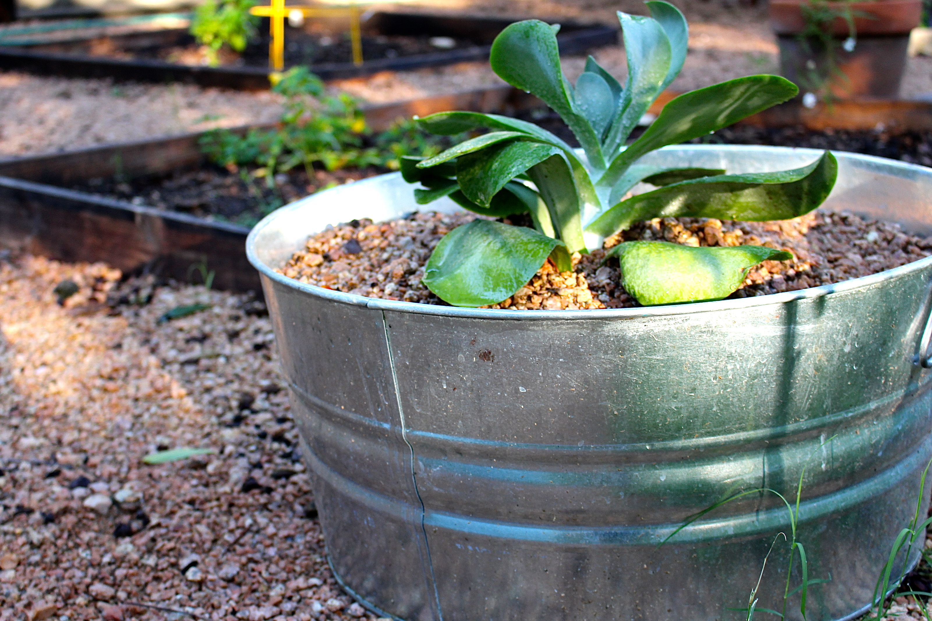 The  big daddy  paddle plant outgrew the terra cotta pot out front  It s. paddle plant succulent   Yard and Plate