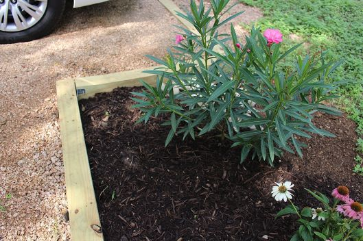 Happy Happy Oleander budding already. Just planted them it seems like a week ago... These beauties cap off the rest of the parking space project.