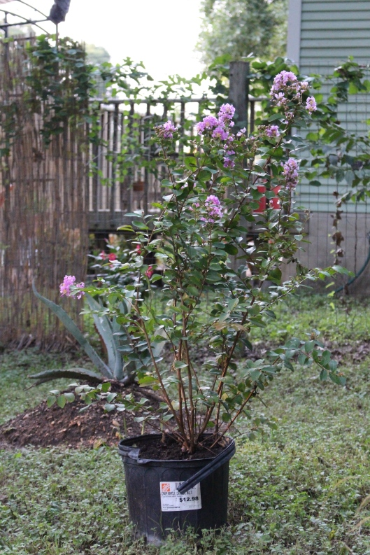 Mom and I found three crepe myrtles at Home Depot. We named this one after my grandmother Margaret who loved her crepe myrtles. Margaret was married to my grandpa Ralph, so he's the second crepe. The third is a 'Muskogee' so we named it after my aunt Debbie, who is from there.