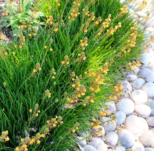 Love the play of Bulbine against hardscape.