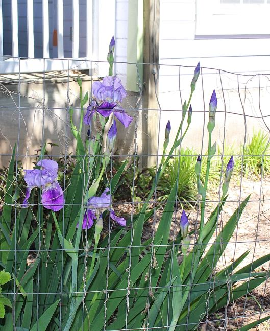 Purple Iris and extra tall it seems this year due to more than normal rainfall.