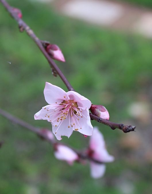 I adore the few weeks of blossoms on the peach tree -- but we are probably gonna pull it this year -- it doesn't fruit and frankly it's positioned too close to the walking path.