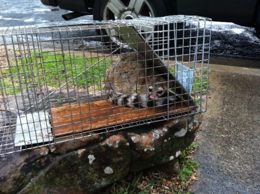 CRITTER RIDDER removed this ring-tailed cat from a house in Lakeway Monday. (This put our situation into a certain perspective.)