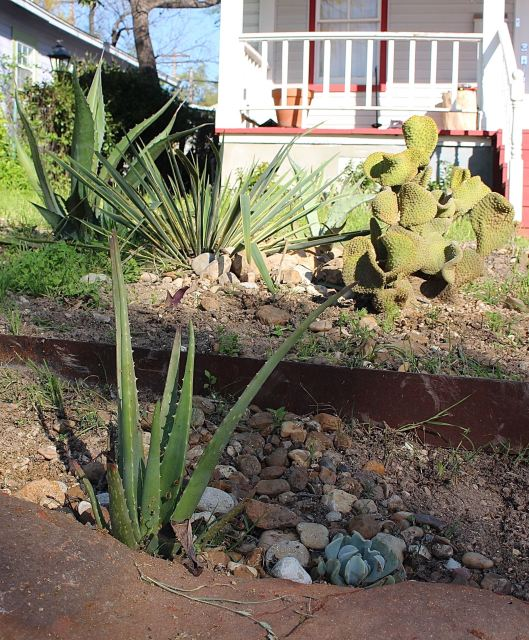 Front yard 'succulent garden' facing west. De-weeded this week -- still a long way to go, but excited that the Aloe Vera looks 'happy happy.'