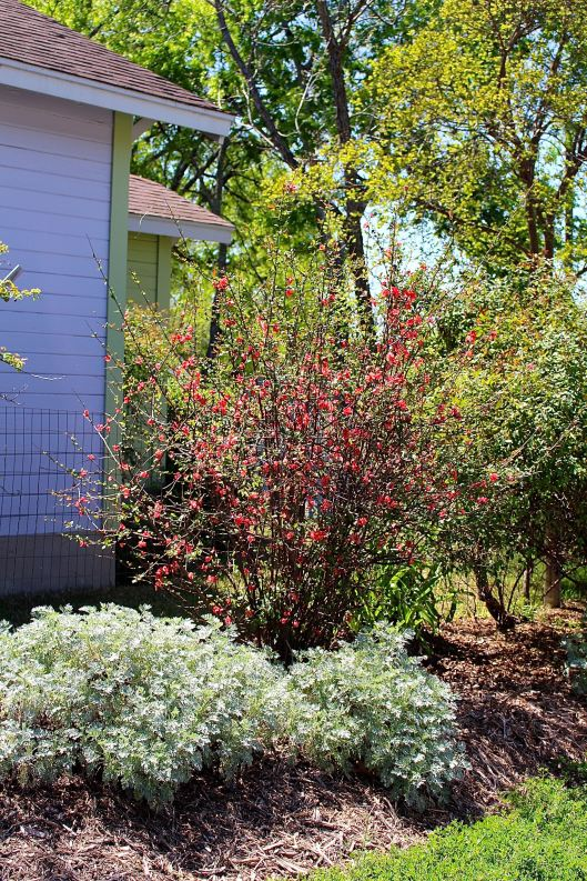 'Tangerine Beauty' crossvine (Bignonia capreolata).