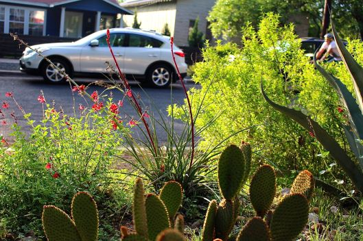 My prickly pear is not happy as the yucca climb to new heights.