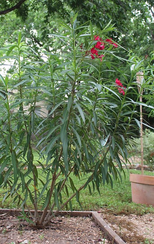 Mom gave me this oleander last year (only stood about two feet). This summer it might reach the roof of the house lol!!