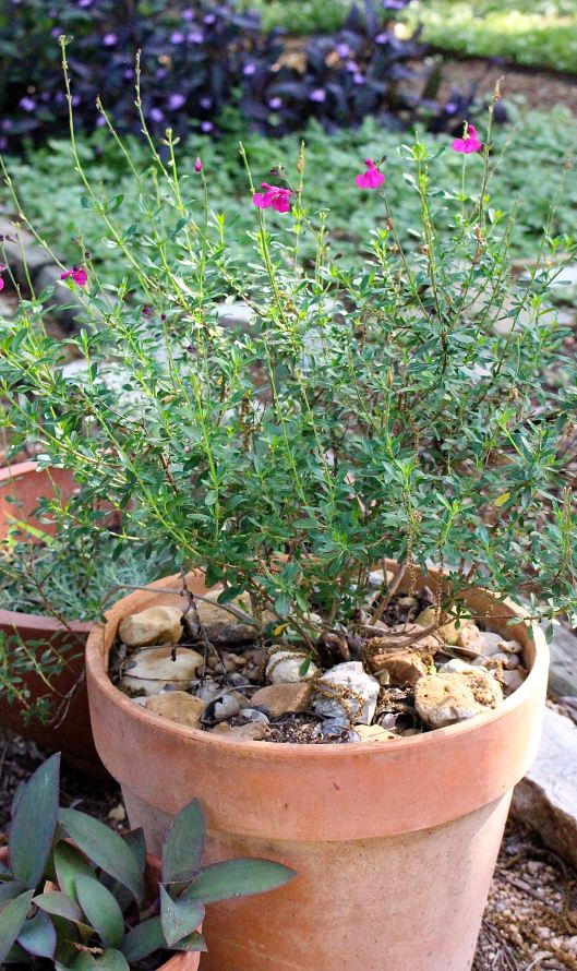 Potted sage in back.