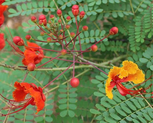 With the epic amount of rain from May, I'm seeing color from this Pride of Barbados in our front yard.