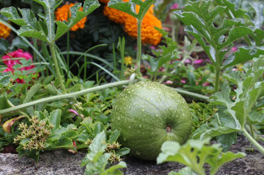 We are all awaiting the harvest of this 'bad boy' watermelon. Oh this is gonna be tasty.