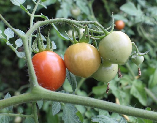 If I need a little snack while working I just walk over to the cherry tomatoes...oh goodness they are tasty!!